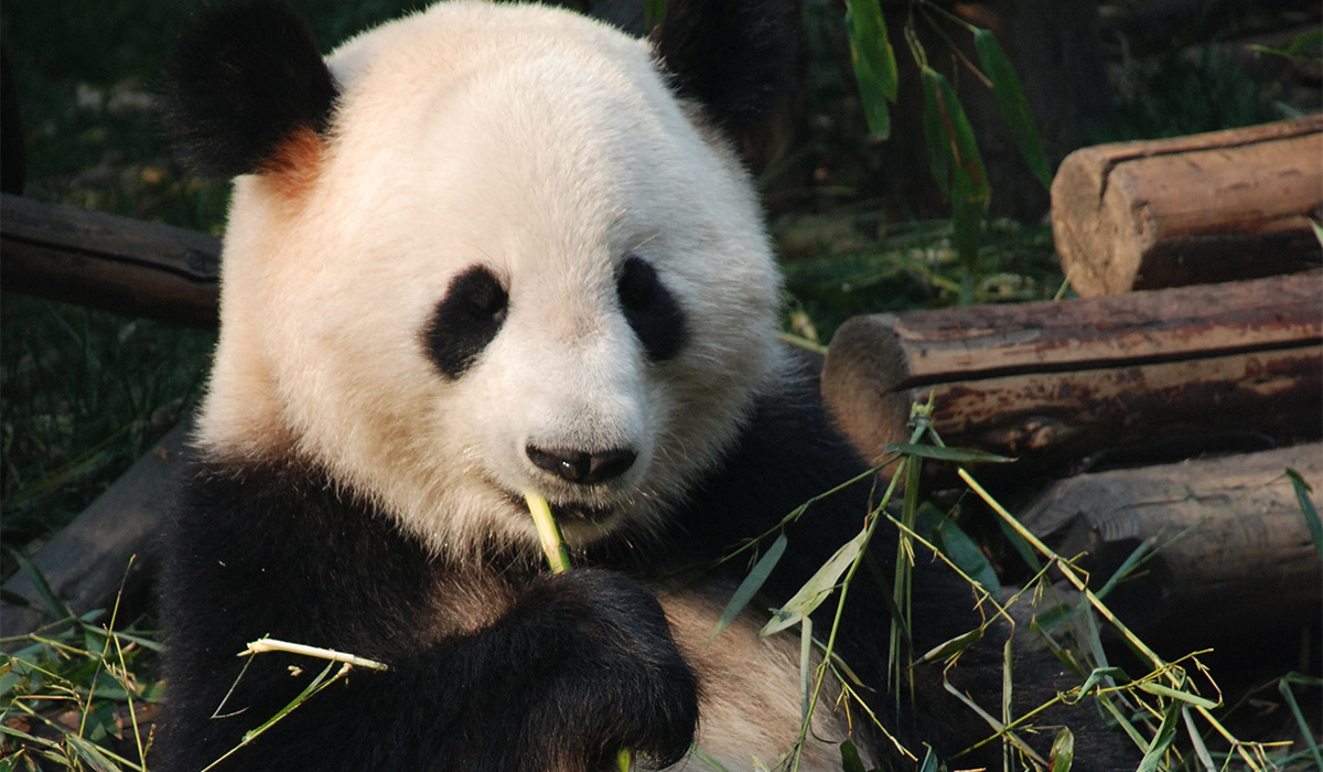 Visit a panda sanctuary in Chengdu, China